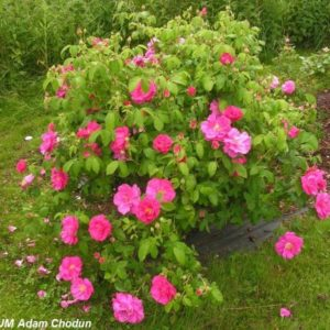 Rosa gallica Officinalis2