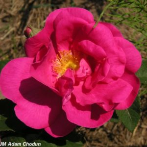 Rosa gallica Officinalis3