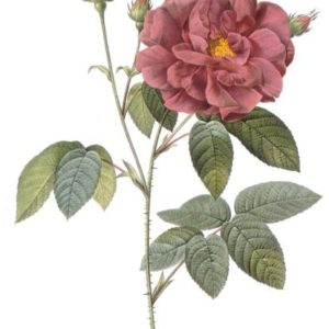 Rosa-gallica-Officinalis4