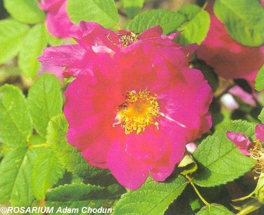 Rosa-gallica-Officinalis5