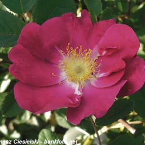 Rosa gallica Splendens1