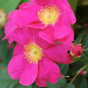 Rosa-gallica-Splendens2