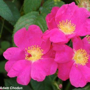Rosa-gallica-Splendens5