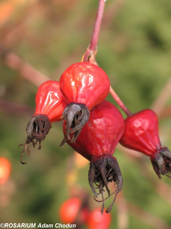 Rosa-gallica-Splendens6