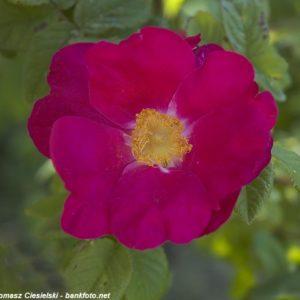Rosa-gallica-Splendens7