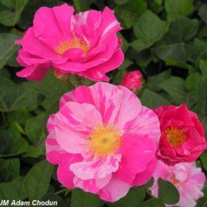 Rosa gallica Versicolor1