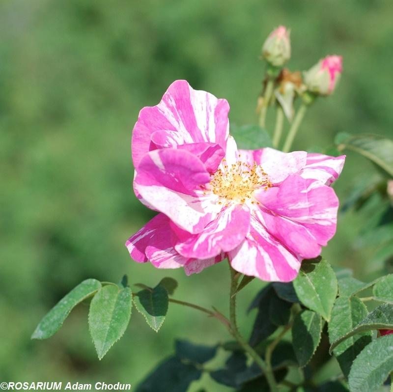 Rosa-gallica-Versicolor10