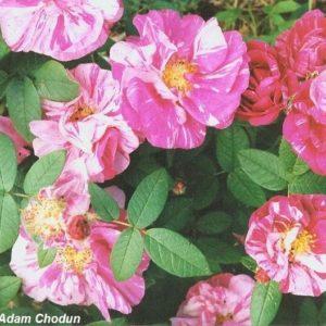 Rosa-gallica-Versicolor2