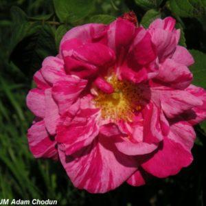 Rosa gallica Versicolor5