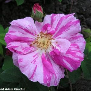 Rosa gallica Versicolor7