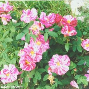 Rosa-gallica-Versicolor9