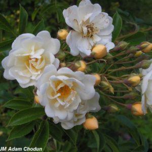 Rosa helenae Semiplena1