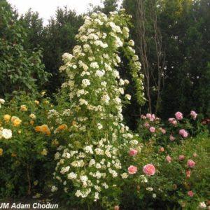 Rosa helenae Semiplena2
