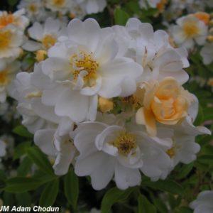 Rosa helenae Semiplena3