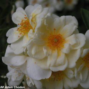 Rosa helenae Semiplena4