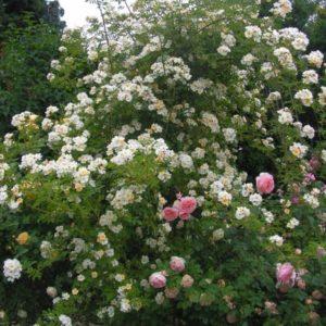 Rosa helenae Semiplena5
