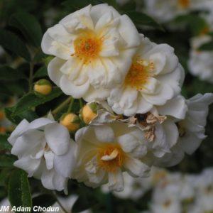 Rosa helenae Semiplena6