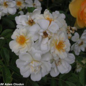 Rosa helenae Semiplena7