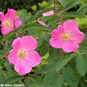 Rosa pendulina Harstad2