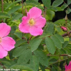 Rosa pendulina Harstad4