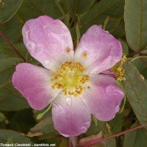 Rosa-rubrifolia-Nova1