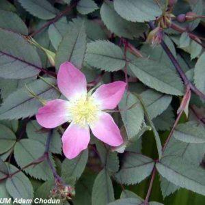 Rosa rubrifolia Nova2