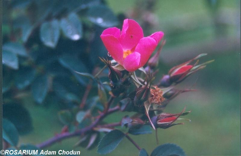 Rosa-rubrifolia-Nova3