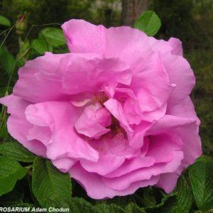 Rosa rugosa Ach1