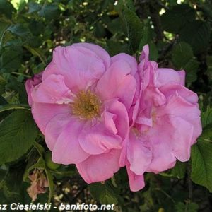 Rosa rugosa Ach3
