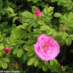 Rosa rugosa Ach4