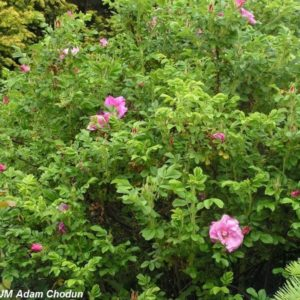 Rosa rugosa Ach5
