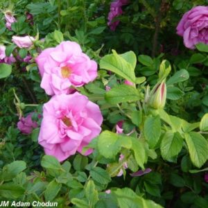 Rosa-rugosa-Ach9