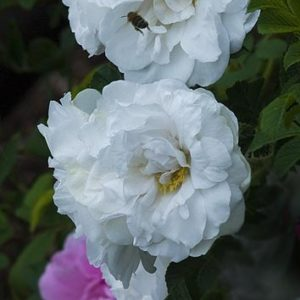 Rosa-rugosa-Blanc-Double-Coubert1