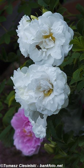 Rosa-rugosa-Blanc-Double-Coubert1