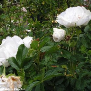 Rosa rugosa Blanc Double Coubert2