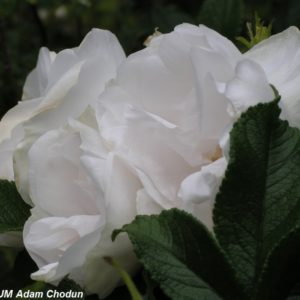 Rosa rugosa Blanc Double Coubert3