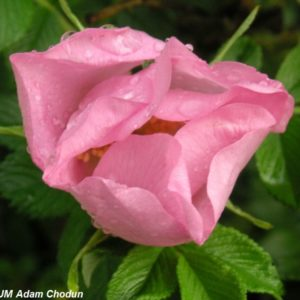 Rosa rugosa Dagmar Hastrup1