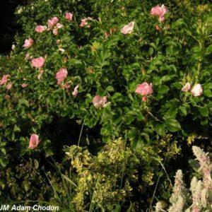 Rosa rugosa Dagmar Hastrup2