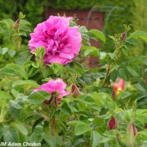Rosa rugosa Hansa1