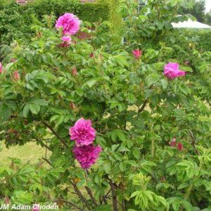 Rosa rugosa Hansa3