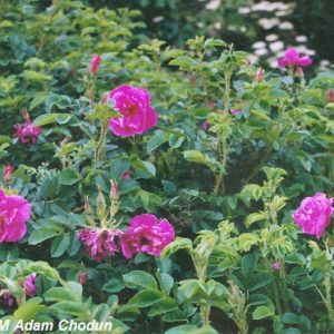 Rosa-rugosa-Hansa4