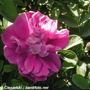 Rosa rugosa Hansa5