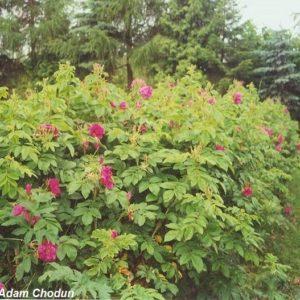 Rosa-rugosa-Hansa6