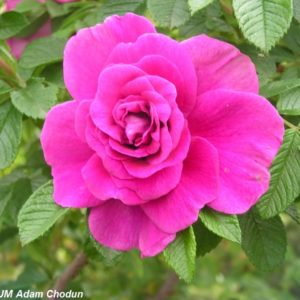 Rosa rugosa Hansa7