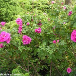 Rosa rugosa Hansa8