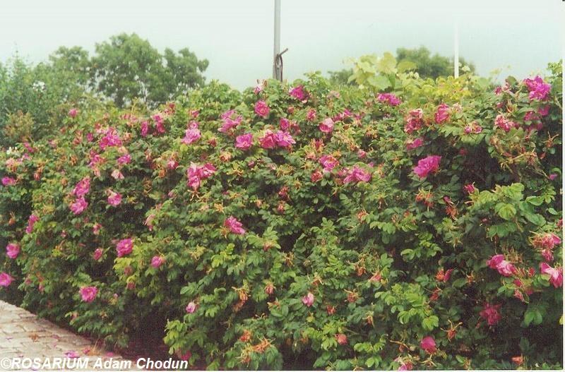 Rosa-rugosa-Moje-Hammarberg3