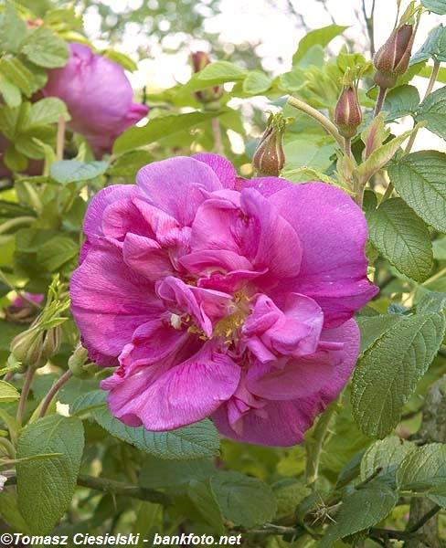 Rosa-rugosa-Moje-Hammarberg4