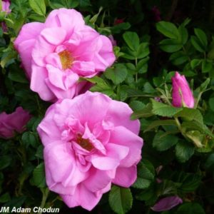 Rosa-rugosa-Moje-Hammarberg5