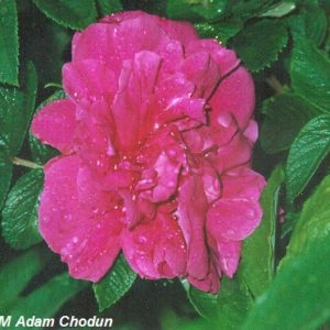 Rosa-rugosa-Moje-Hammarberg6