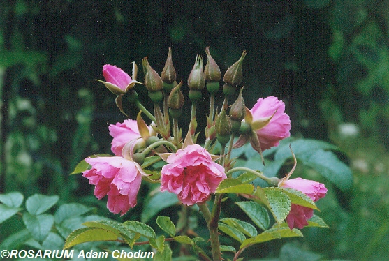 Rosa-rugosa-Pink-Grootendorst3